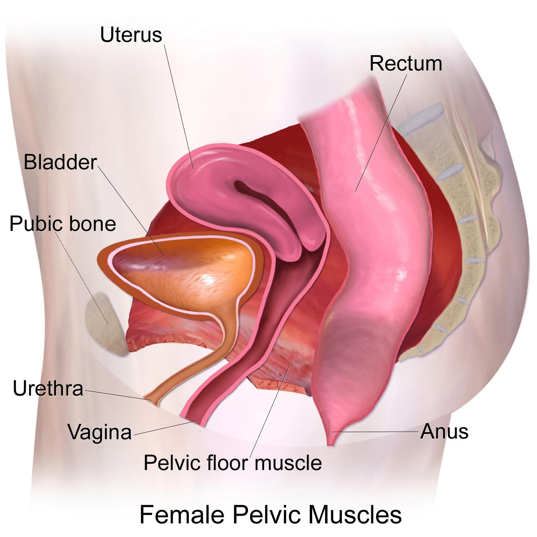 Female Pelvic Muscles